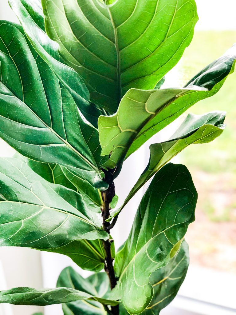 fiddle-fig